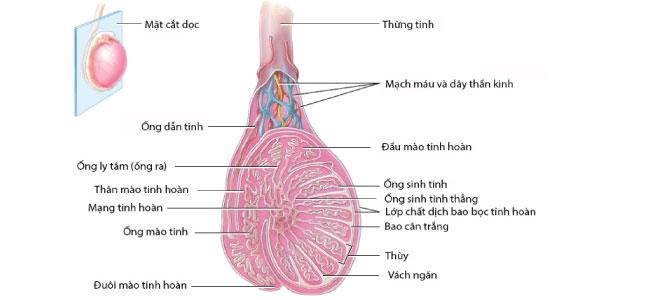 Cấu tạo tinh hoàn và quá trình sinh tinh ở nam giới