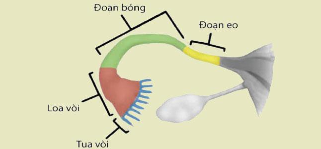 Cấu tạo và chức năng của ống dẫn trứng