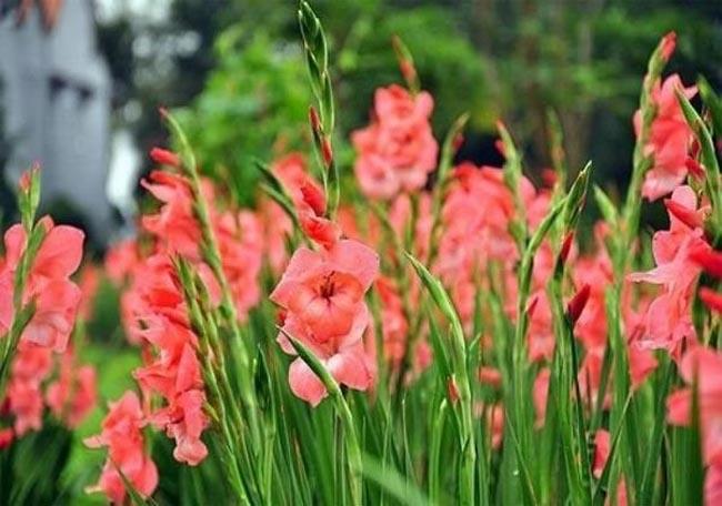 Cách cắm hoa lay ơn ngày Tết đón Tài Lộc vào nhà hình ảnh 6
