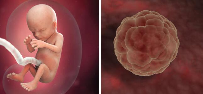 Khám phá sự phát triển của thai nhi theo tuần